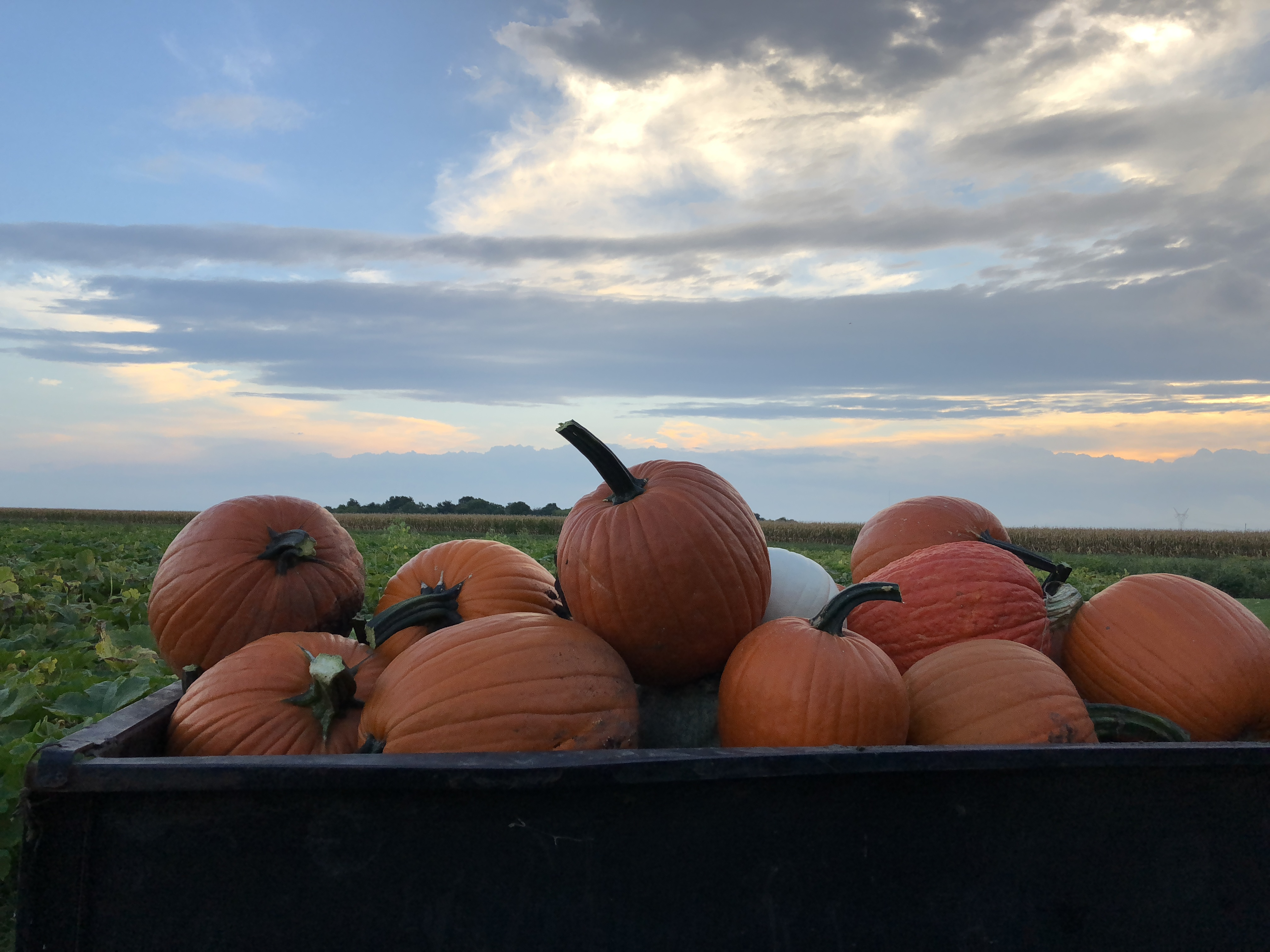 last load of pumpkins for the day