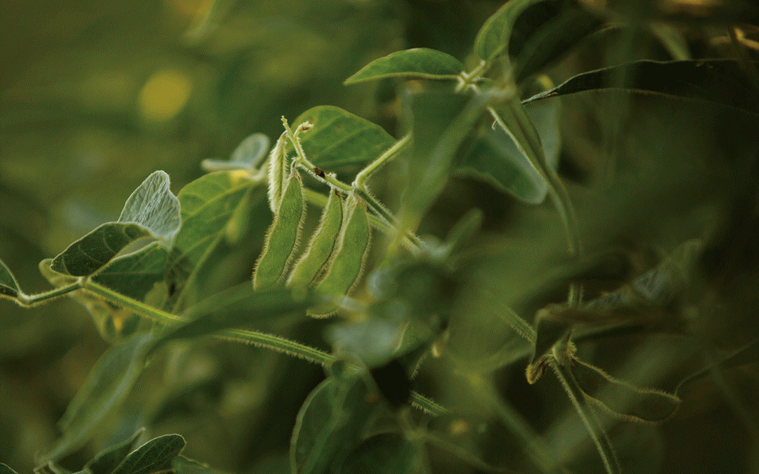 Soybean success! The first commercial season of Enlist E3™ soybeans