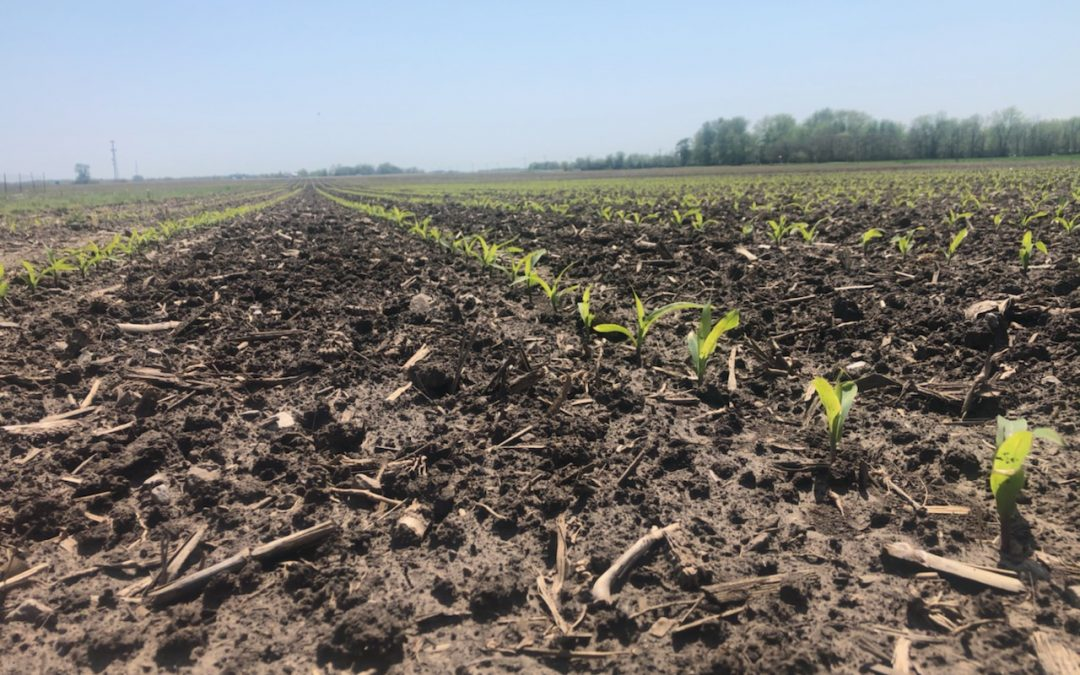 Early Season Freeze Concerns in Corn and Soybeans